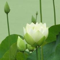 花はす(金鳳展翅)