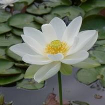 花はす(ベトナム蓮)