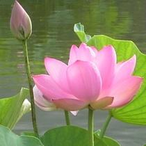 花はす(中国古代蓮)