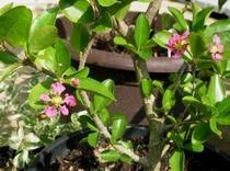アセロラの花