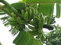 島バナナの実