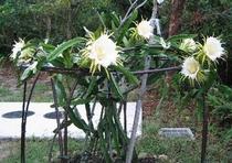 ドラゴンの花