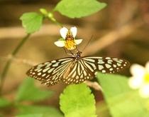 八重山の蝶