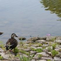 鴨のいる庭園