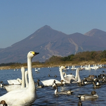 猪苗代湖は白鳥の飛来地。シベリアから渡ってくる。多い時で3000羽が集まる。(当館より車で約40分)