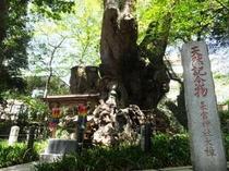 来宮神社(大楠)