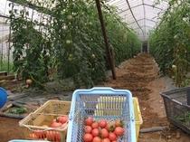 宮城野区庄司さんのトマトのハウス