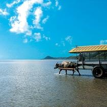 *水牛車/水牛車で西表島から由布島を巡るオプショナルツアーも※別途有料