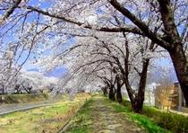 横河川・桜並木