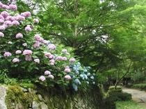 金剛輪寺の紫陽花 (湖東三山)