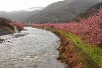 豊泉橋から見る、河津桜。