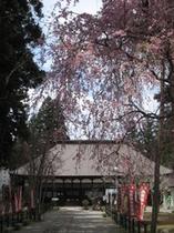 林泉寺の枝垂れ桜