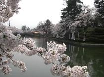 上杉神社の桜