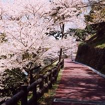 音無山の桜②