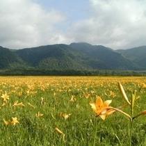 【夏*風景】ニッコウキスゲの群生 黄色のジュウタン
