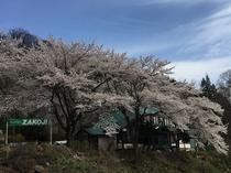桜満開の全景
