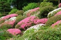 庭園のツツジ