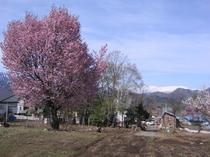 山桜1.jpg