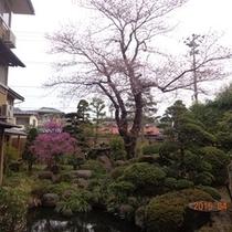 お庭に桜開花4月13日
