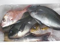 地魚〜おとうさんの釣りの釣果〜