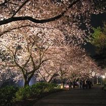 フラワーパーク夜桜
