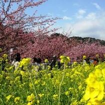 河津桜まつりは2/10~3/10に開催!