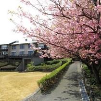 庭園の富戸桜(3月上旬頃)