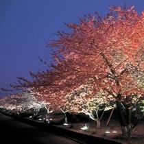 伊豆高原桜まつりは3/11~4/2に開催予定
