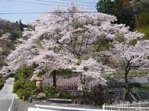秩父札所31番の桜