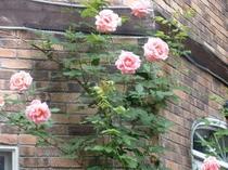 薔薇(ティファニー)