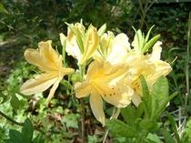 黄花レンゲツツジ