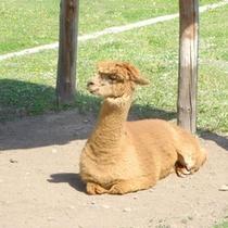 *かわいいアルパカに会えるアルパカ牧場まではお車で約3分♪