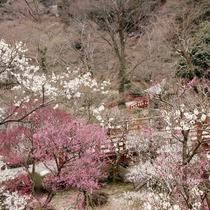 熱海梅園梅まつりは1月7日~3月5日開催!期間中は入園券付プラン設定中です!