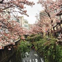 あたみ桜が美しく咲きほこる糸川遊歩道は当館から徒歩数分。1月21日~2月12日には糸川さくら祭り