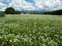 信州の夏の代名詞そばの花