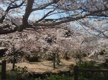 東行庵の桜