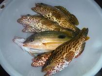 トロピカルフィシング釣れたお魚(チョィ投げ釣り)