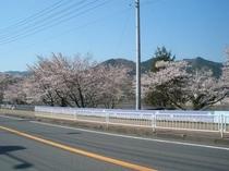 118号沿いの桜並木