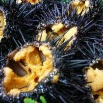 天然殻付キタムラサキウニ