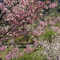 【山ザクラ】秩父市荒川小野原の県道72号線沿いに「深山の花園」