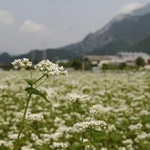 【そばの花】秩父市荒川