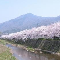 ◇高野川 桜風景