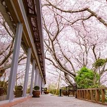 シエスタ横と桜