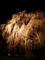 高田夜桜07-2