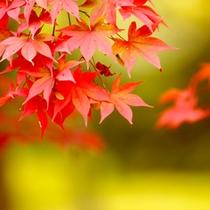 *もみじの燃えるような赤が目に眩しい季節です