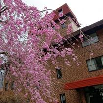 *【外観】毎年春には、嶺南荘の枝垂れ桜が満開になります♪