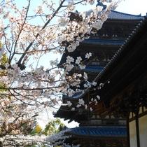 興福寺境内の桜