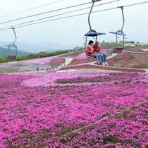 芝桜 茶臼山高原