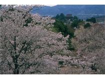 吉野山の桜:中千本