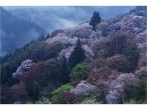 吉野山の桜:下千本
